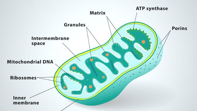 Mitochondria+diagram